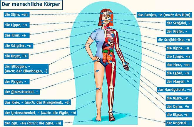 Изучаем части тела на немецком